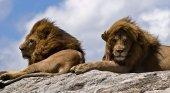Dos leones descansando en una roca