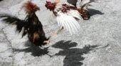 Gallos en una pelea
