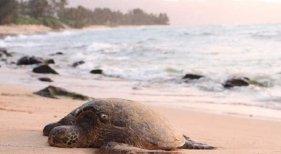 Tortuga en la isla de Sal, Cabo Verde
