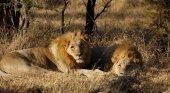 Leones en una reserva sudafricana como los que devoraron al cazador