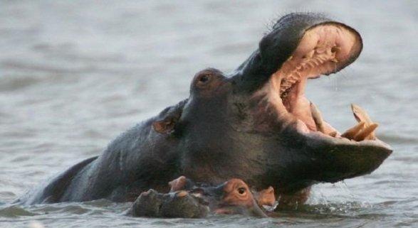 Safari de avistamiento de hipopótamos en Santa Lucía. Foto de Diario de León