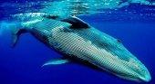 Ballena azul. Foto de Taringa