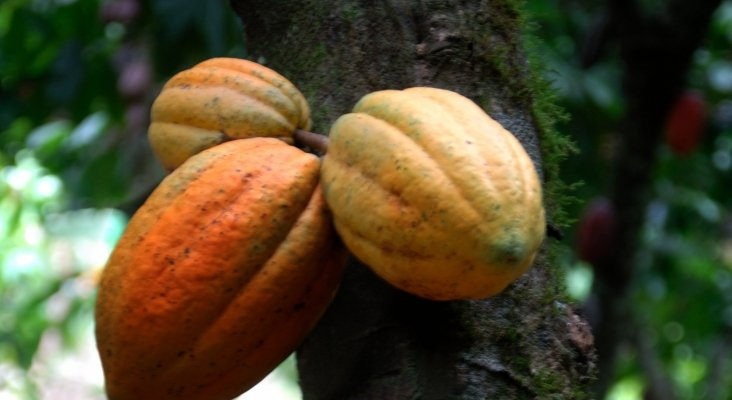 Se pone de moda en Dominicana 'La ruta del Cacao'