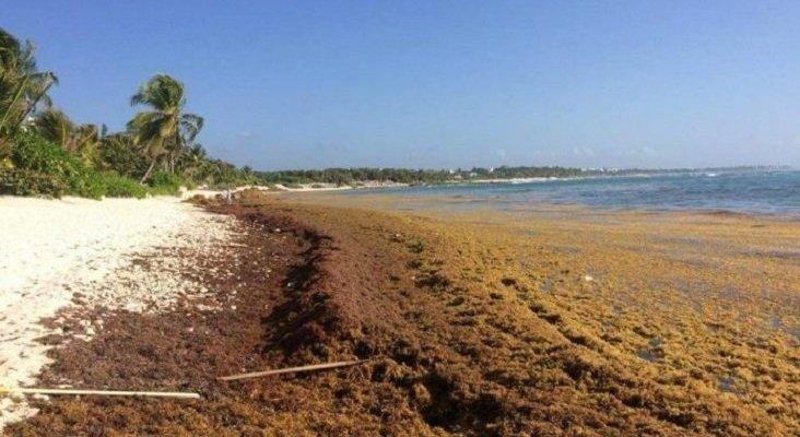 El sargazo engulle las playas del Caribe y Florida. Foto de Quinta Fuerza