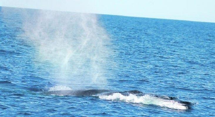 Las ballenas rorcuales surcan las aguas españolas|Javier Abad Carbonell/ ANSE vía La Opinión de Murcia