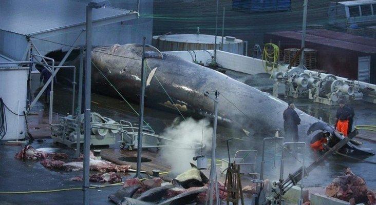 Islandia, cara y cruz de la conservación de ballenas Foto: Sea Sepherd