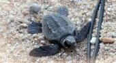 Nace primera tortuga boba en Mataró. Foto: Ayuntamiento de Mataró
