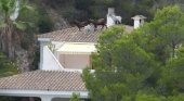 Cabras salvajes, los no tan adorables vecinos de Mallorca|Foto: Diario de Mallorca