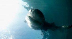 Tiburones, la pesadilla de cada verano|Tiburón cañabota gris detectado en aguas de Alicante este verano-captura del vídeo filmado por los navegantes vía Cadena Ser