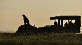 El turismo, ¿defensa o amenaza para los guepardos de Kenia?|Foto: The Conversation