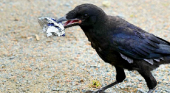 6 cuervos recogen la basura de un parque temático francés|Foto: Puy du Fou vía Designboom