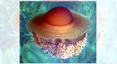 Medusas 'huevo frito' amenazan el baño en el Mediterráneo Foto: T.Friedrich CC BY 2.5