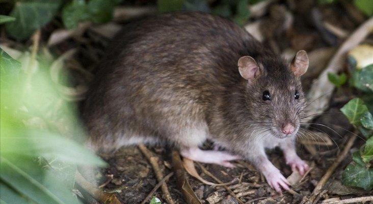 Las ratas también visitan zonas turísticas de España|Foto: Rata en el parque de la Ciutadella- Jordi Cotrina vía El Periódico