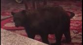 Un oso, huésped inesperado de un hotel de Colorado