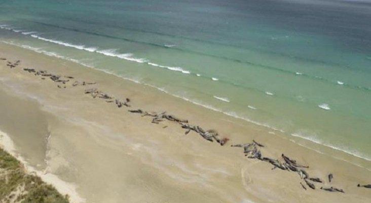 Mueren 145 ballenas en Nueva Zelanda tras quedarse varadas Foto: EFE vía Sur