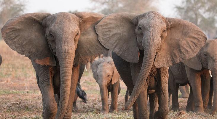 Algunos elefantes nacen sin colmillos como mecanismo de defensa ante la caza furtiva Foto: ELEPHANTVOICES vía National Geographic