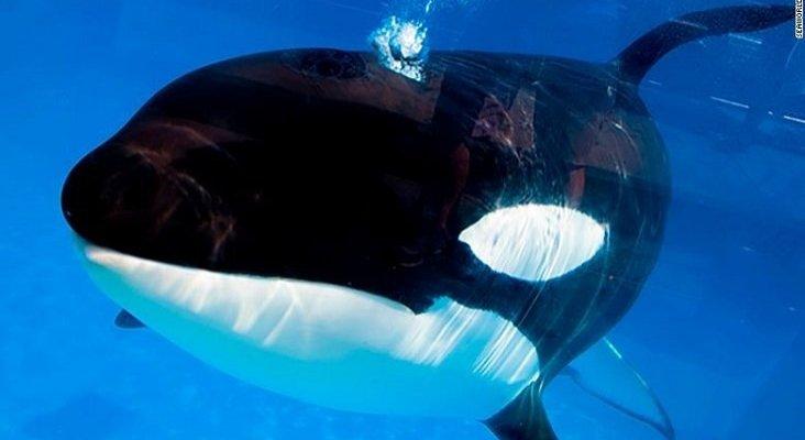 Muere Kayla, la orca más longeva de SeaWorld que nunca nadó en el océano   Foto: CNN