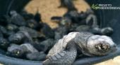 "Cabo Verde registra cifras récord de anidación de la tortuga ""Caretta caretta"""