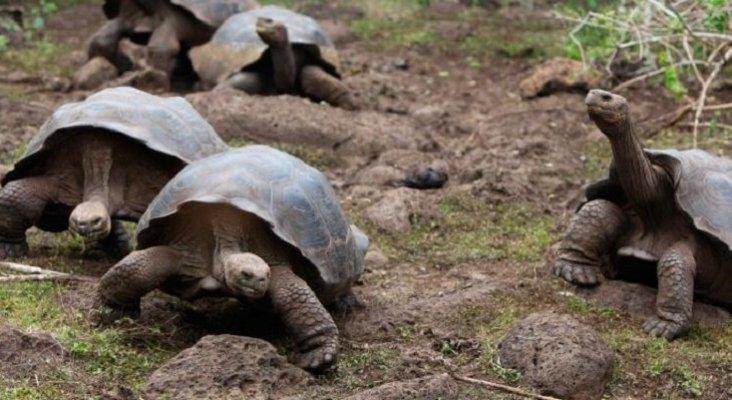 Nacen las primeras tortugas galápagos en libertad en 100 años  | Foto: La Voz del Despertar