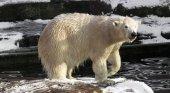 Osos polares invaden población rusa por culpa del cambio climático