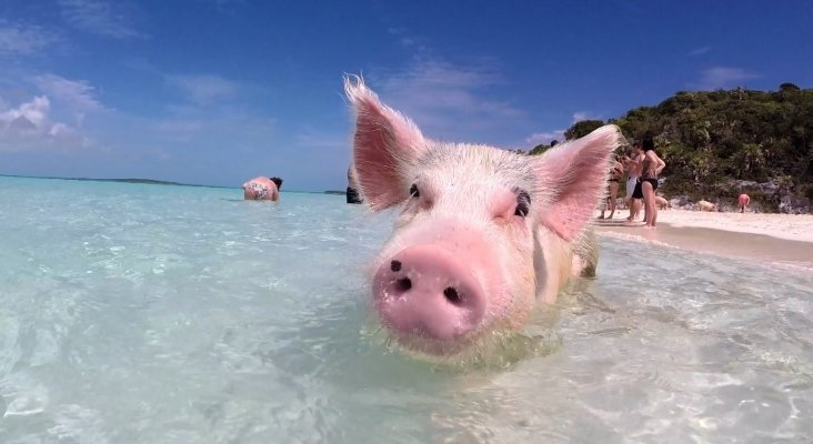 La isla de los cerdos en Bahamas