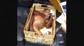 Encuentran a un orangután drogado en la maleta de un turista |Foto: Antara Foto Agency/Reuters vía Huffpost
