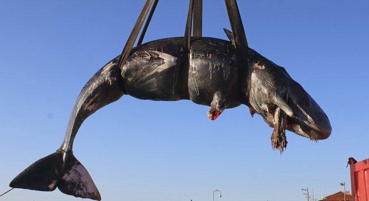 Plásticos, la gran amenaza de la vida marina | Foto: Ballena cachalote hallada muerta en Italia- SEAME Sardinia Onlus vía AP