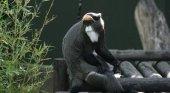 Preocupación por los planes del Zoo Barcelona de reubicar casi 2.000 animales| Foto: Cercopiteco de Brazza vía Zoo Barcelona
