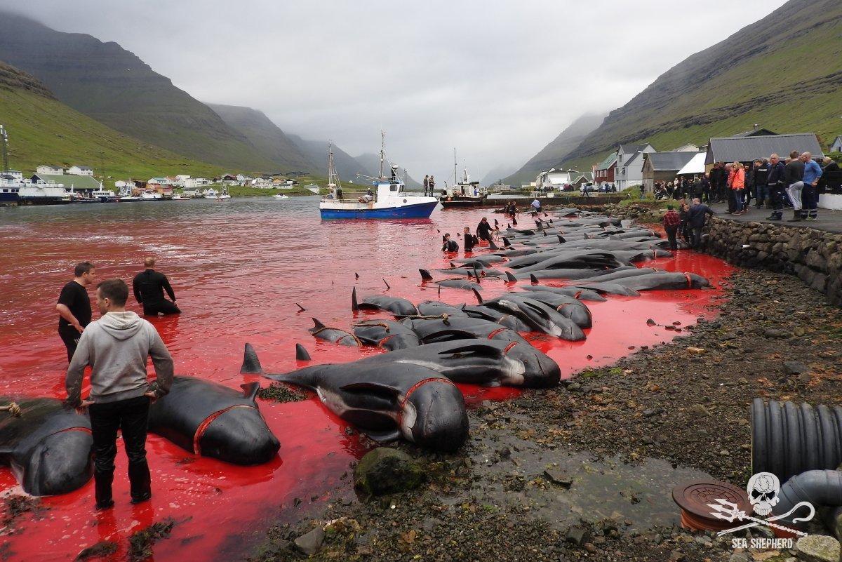 La matanza de cientos de cetáceos en islas Feroe