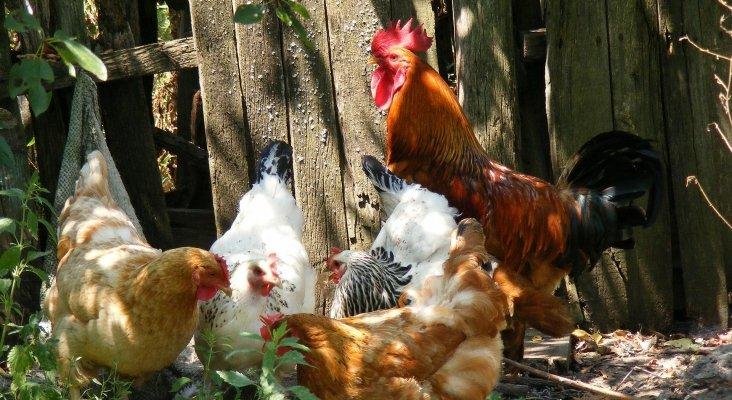 La queja de los turistas destapa un gallinero ilegal en Asturias