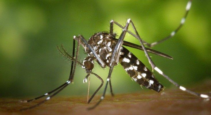 Tres turistas islandeses contraen el virus chikungunya en Alicante | Foto: Mosquito tigre