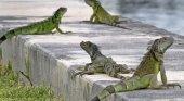 Las iguanas invaden las soleadas playas de Florida|Foto: Tampa Bay Times