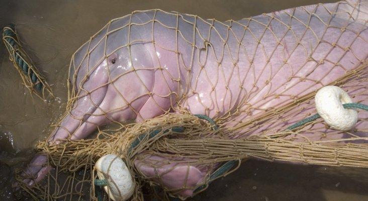 Los delfines rosas del Amazonas, en peligro de extinción por ser usados como carnada
