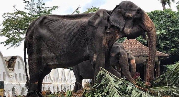 Llaman al boicot contra las atracciones con elefantes en Sri Lanka | Foto: Save Elephant Foundation