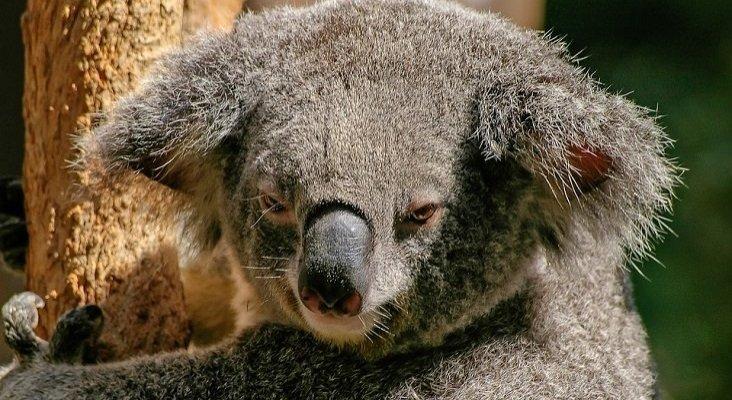El fuego en Australia amenaza a los koalas y a 30.000 empleos turísticos