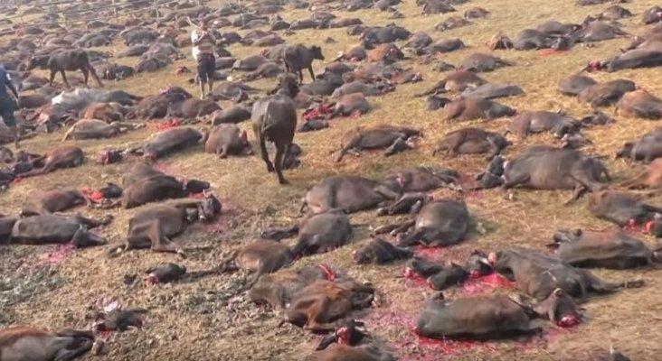 Nepal celebra el festival que sacrifica a cientos de miles de animales | Foto: Igualdad Animal