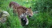 La reintroducción de animales salvajes impulsa el turismo en Iberá (Argentina)