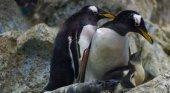 Loro Parque recibe el año dando la bienvenida a varias  crías de pingüino de diferentes especies