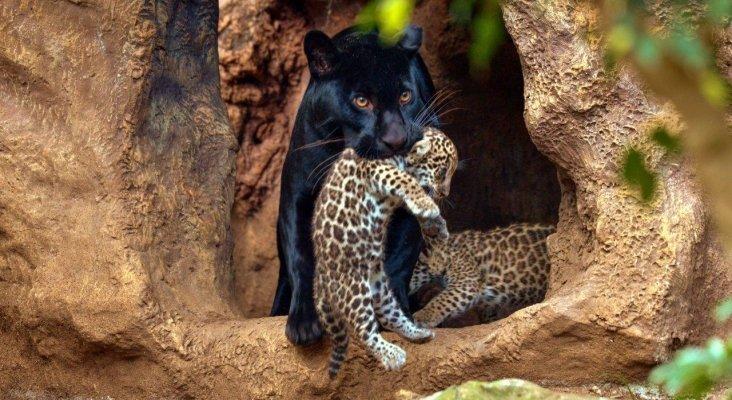 Loro Parque celebra el nacimiento de dos mellizos de jaguar
