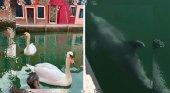 Delfines, cisnes y peces ocupan los desérticos canales de Venecia |Foto: 24horaspuebla.com