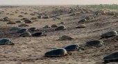 Las playas vacías, una oportunidad única para el anidamiento de las tortugas|Foto