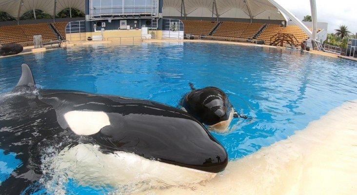 La orca Morgan junto a su cría Ula en Loro Parque
