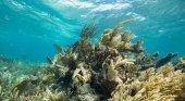 Grupo Iberostar y México se alían para proteger los arrecifes de corales | Foto: Arrecife Mesoamericano- tncmx.org