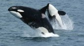 Orcas en libertad