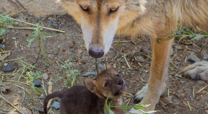 Cachorro de lobo gris nacido bajo el programa de conservación Foto Gobierno de México