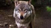 Prohibida la caza del lobo en todo el territorio español