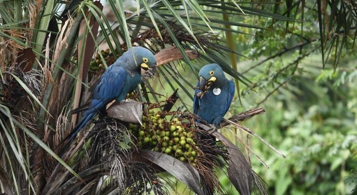 Loro Parque Fundación introduce más ejemplares de guacamayo de Lear en su medio natural en Brasil | Foto: Thiago Filadelfo/Loro Parque