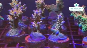 Iberostar apuesta fuerte por la sostenibilidad y abre su cuarto vivero de coral en el Caribe