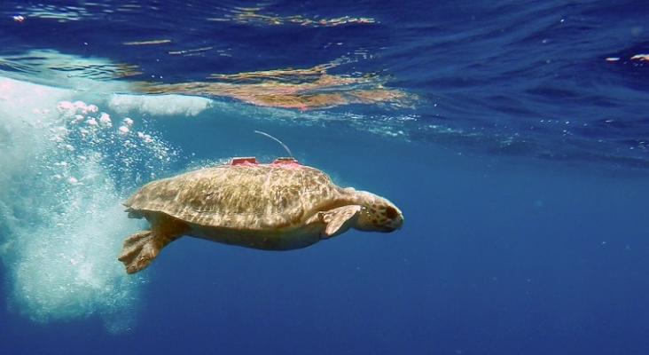 La Fundación TUI Care libera a una tortuga verde conectada a un dispositivo de seguimiento