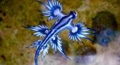 Los dragones azules llegan a las costas de Canarias | Dragón azul (Glaucus atlanticus) Foto Sylke Rohrlach (CC BY SA 2.0)